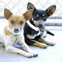 Mesa Az Chihuahua Meet A Dog For Adoption Animals Animal Shelter Pets