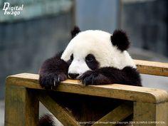 #panda #pandas Cutest animal ever