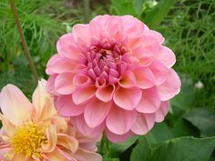 Becoming may favourite, I think. Daffodils, Dahlia Flowers, Mary, Photo Credit, Winter Garden, Soil Type, Flowers, Growing Up, Roses