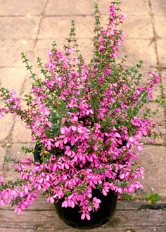 Growing Australian natives in containers by Anna Rees (Australian Plants Online) (photo is of a Tetratheca thymifolia)