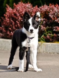 OMG...Border Collie puppy