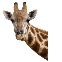 Giraffe Art Print featuring the photograph Giraffe Portrait by Johan Swanepoel Giraffe Head, Giraffe Art, Zebra Drawing, Giraffe Pictures, Portrait Wall, Thing 1, Mural Art, Art Pages, Animal Paintings