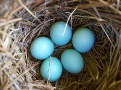 Blue Bird Eggs  #springintothedream