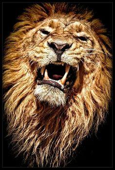 The Lion ❤