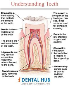 A tooth is basically made up of two parts: the crown and the root.Crown is the visible portion of tooth. A tooth is basically made up of two parts: the crown and the root.Crown is the visible portion of tooth. Dental Assistant Study, Dental Hygiene Student, Dental Hygienist, Oral Hygiene, Dental Implant Surgery, Teeth Implants, Tooth Decay In Children, Dental Anatomy, Medical Anatomy