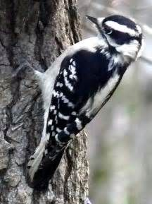 downy woodpecker pictures - Yahoo Image Search Results