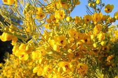 Cassia, a host plant for the sulphur butterflies. From Becky Neville onto Step Into Our Garden