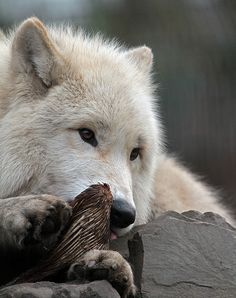 The Hudson Bay wolf (Canis lupus hudsonicus)