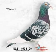 'Witbuik' - Batenburg - van de Merwe, Klaaswaal (NL). Resultado de imagen de van den eijnden pigeons