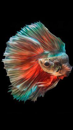 'White Angel Siamese Betta Fish' Poster by zakugan Colorful Fish, Tropical Fish, Freshwater Aquarium, Aquarium Fish, Beautiful Creatures, Animals Beautiful, Carpe Koi, Fish Wallpaper, Fish Care