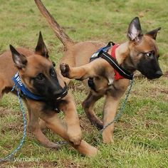 By 😆😆 Check bio for tags to get featured🐺… Berger Malinois, Belgian Malinois Puppies, Happy Animals, Funny Animals, Cute Animals, Funny Dogs, Belgian Shepherd, German Shepherd Dogs, Cute Puppies