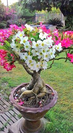 Flowers of Bonsai tree — with Akshay Gurad and Soniye Hiriye Teri Yaad Aandi Hai.https://www.facebook.com/iinature/photos/a.157248837746286.34307.157246037746566/967788880025607/?type=3