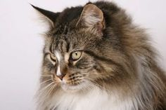 The Maine Coon Cat Kittens is one of the largest domesticated breeds of cat.  #Maine #Coon #Cat #Breed