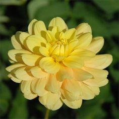 AHOY MATEY Dahlia - long stem, ideal as cut flower