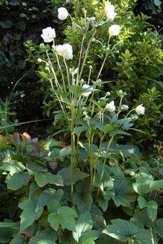 Anemone × hybrida 'Honorine Jobert'- 1.20/1.50