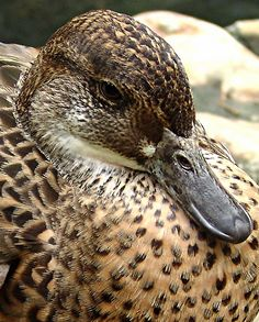 duck - up close & personal