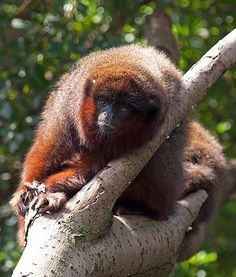Red Titi Monkey.. found in topics of south america
