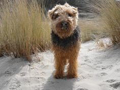 Welsh Terrier Dog Welsh Terrier, Airedale Terrier, Terrier Dogs, Terriers, Companion Dog, Hunting Dogs, Sandy Beaches, Felt Animals, Healthy Relationships