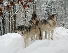 101 Best Timber Wolves Images Timber Wolf Wolf Beautiful Wolves