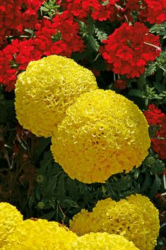 81 best yellow flowers images on pinterest yellow flowers moonstruck yellow marigold also a great pest repelling companion plant for vegetable gardens mightylinksfo