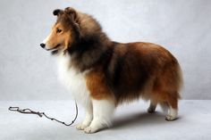 Westminster Best in Breed (2013): Natalie (Shetland Sheepdog), registered as Sunebank Broadway Bound, is owned by Marni Sharoff.