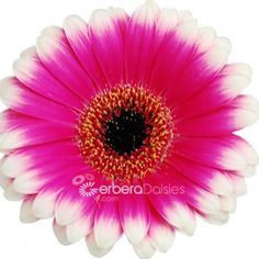 Bulk Flowers - Fresh Hot Pink Germinis With White Tips