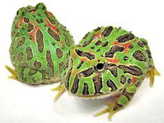 Ornata Horned Frog