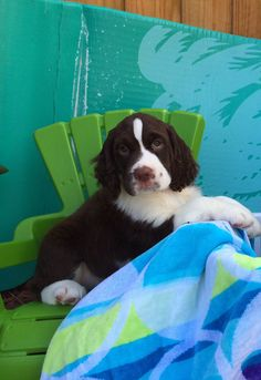 Springer Spaniel puppy He's so sweet..my friends are about to get one! Soo excited!