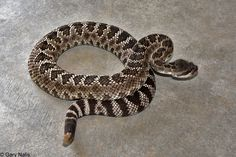 Fact about rattlesnake, fact about baby rattlesnake, rattlesnake, baby rattlesnake, fact about rattlesnake, fact about baby rattlesnake , beautiful rattlesnake, amazing rattlesnake, venom, danger, dangerous animals, rattlesnake poison #Fact about rattlesnake  #fact about baby rattlesnake  #rattlesnake  #baby rattlesnake  #fact about rattlesnake  #fact about baby rattlesnake   #beautiful rattlesnake  #amazing rattlesnake  #venom  #danger  #dangerous animals  #rattlesnake poison