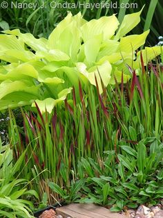 'Sun Power' hosta with Japanese blood grass (Imperata cylindrica 'Rubra'). Love the blood grass but worry the snails will get any hostas. Tropical Garden, Plants, Ornamental Grasses, Foliage Plants, Grass, Japanese Garden, Outdoor Plants, Garden Bloggers, Shade Garden Plants