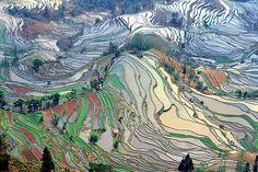 Terrace field yunnan china - Rice - Wikipedia, the free encyclopedia