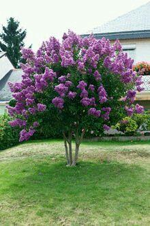 Lavender crepe myrtle Tree