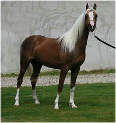 Udjali silver fame - Cheval de selle 65 % arabe