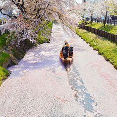 kawagoe_hikawa #小江戸川越 #春の舟遊 #新河岸川 #誉桜 #川越氷川神社 #花筏 #川越 #kawagoe 2018/04/02 22:05:56