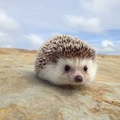 Pet Hedgehog... Look at his cute little face!