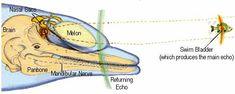 Dolphin Echolocation inspires new rescue radar system