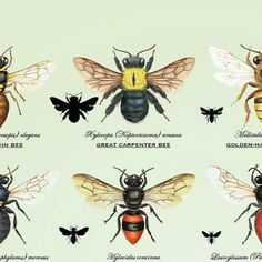 Native Bees of Queensland Poster by GinaCransonArtworks on Etsy Bee Identification, Stingless Bees, Carpenter Bee, Insect Hotel, Native Australians, Bee Tattoo, Beautiful Bugs, Save The Bees, Bees Knees