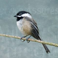 Tiny Black Capped Chickadee Perches on a Branch Sky by junehunter, $7.00