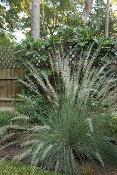 "Lindheimer's muhly grass, Muhlenbergia lindheimeri (2' - 5' by 3"" wide), clumping"