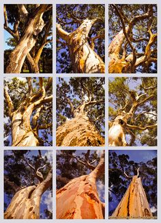 Australian gun trees - El Niño 2014 is likely. Rural Australians should prepare their properties against summer bush fires.