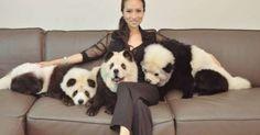 #HeyUnik  Heboh, Tiga Anjing Ini Dicelup Agar Mirip Panda #Hewan #Sosial #Unik #YangUnikEmangAsyik