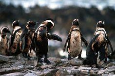7. Des pingouins recouverts de pétrole et un raton laveur avec un harpon de pêche dans la bouche
