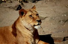 Panoramio - Photos by kuchipi Lion