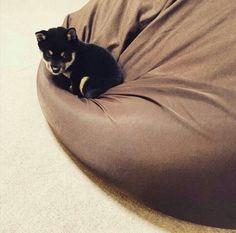 """柴犬, #Shiba Inu <3 ~lisa """"LOVE the BROWN body fit cushion""""(c)"""