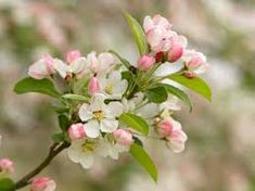 Get expert gardening tips on the Flowering Crabapple Tree. How much sun, shade, water and care does it need? Read on to find out. Growing Tree, Growing Plants, Flowering Crabapple Tree, Apple Tree Flowers, Apple Varieties, Landscaping Trees, Victorian Gardens, Blossom Tattoo, Flowers