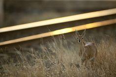 steenbok and railways - a lone female steenbok grazes near the tracks
