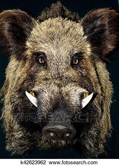 Find Wild Boar Black Background stock images in HD and millions of other royalty-free stock photos, illustrations and vectors in the Shutterstock collection. Wild Boar Hunting, Hog Hunting, Wild Boar Image, Animals And Pets, Cute Animals, Nature Images, Pet Portraits, Animal Photography, Animal Kingdom