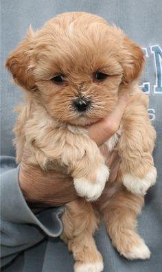 Shihpoo puppy. cutest paws ever! so darn cute:::.: