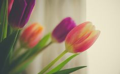 Tulips macro Wallpapers Pictures