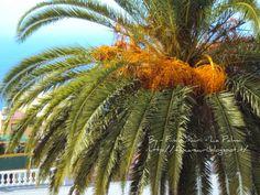 Finca Sauri: Palma da Datteri.